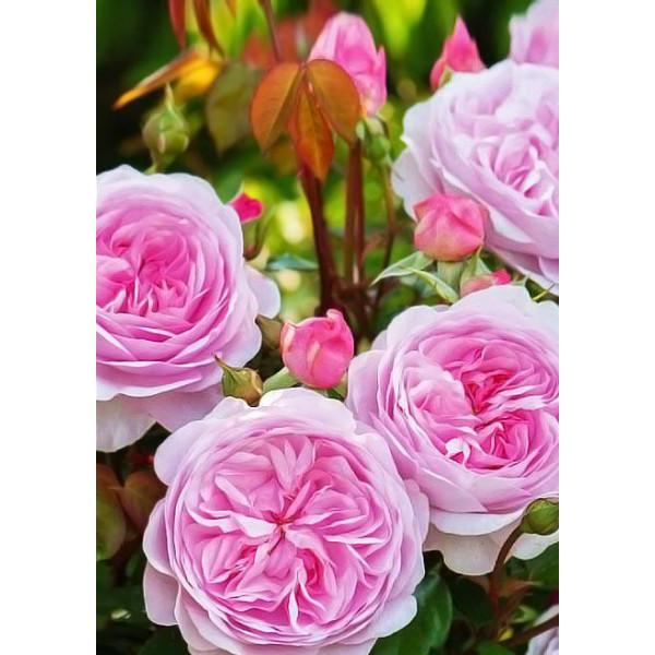 Роза английская Остин Росалинд