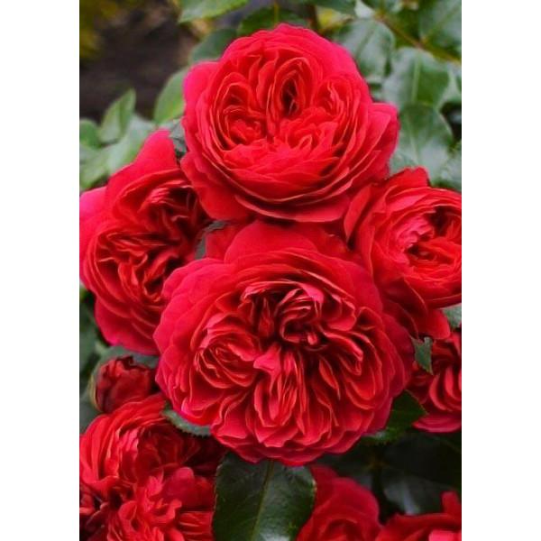 Роза флорибунда Ред Леонардо да Винчи