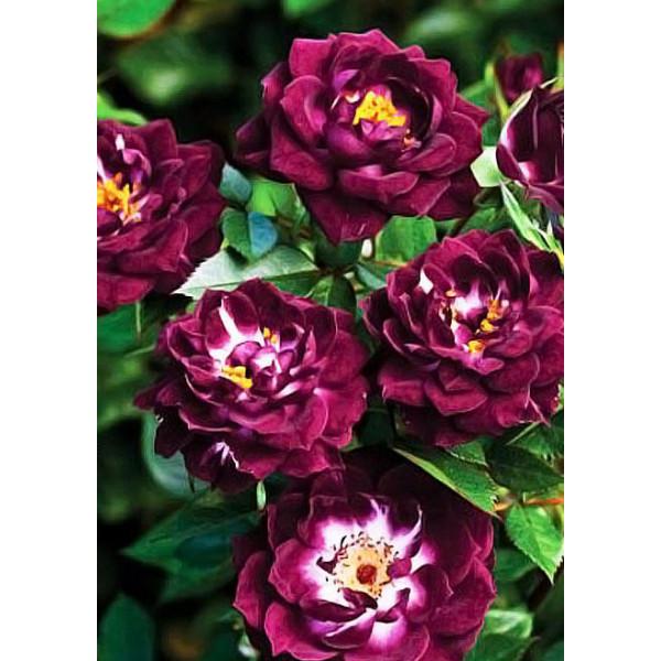 Роза флорибунда Ночная Сова