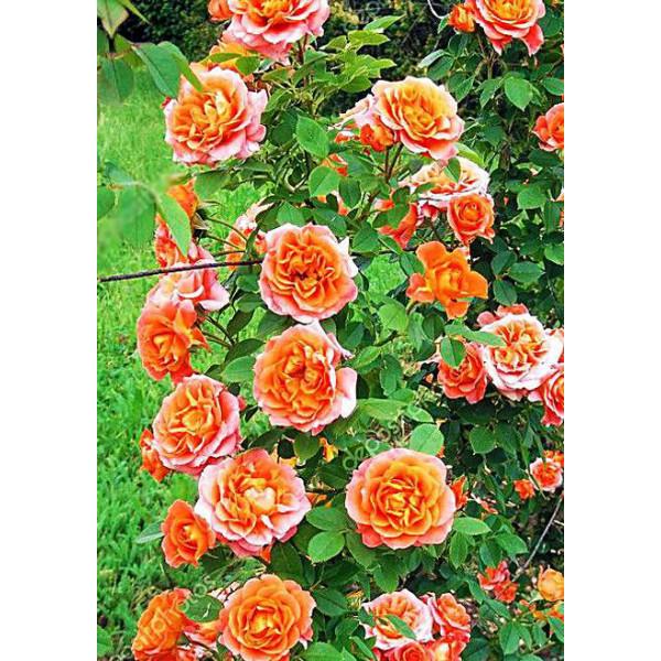 Роза плетистая Роскошный вид